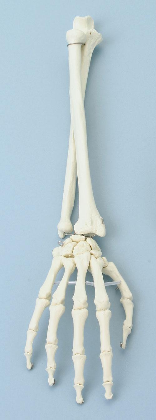Unterarm Knochen